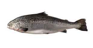 FRESH SCOTTISH/FAROE ISLANDS SALMON