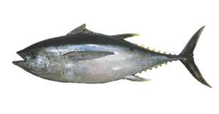 FRESH YELLOW FIN AND/OR BIG EYE TUNA